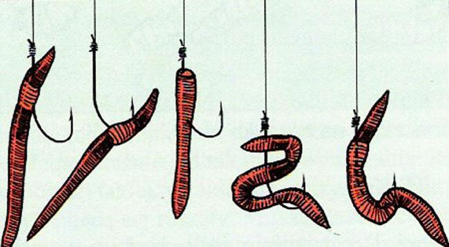 как насадить червя на крючок фидер