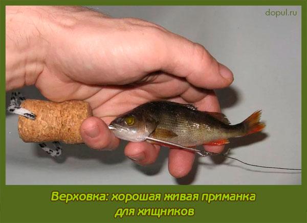 наилучшие приманки для хищной рыбы